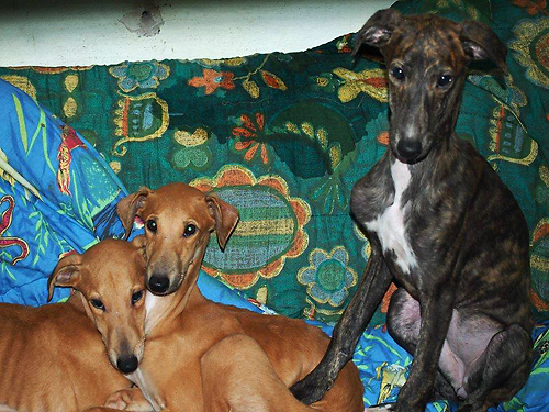 greyhoundpuppies_lithauen