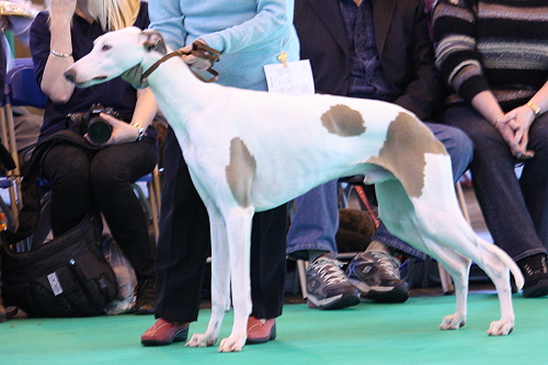 Crufts14_04_MMrDaydreamer