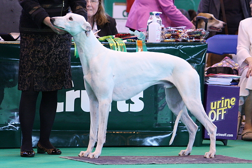 Crufts14_04_MPersnickety2
