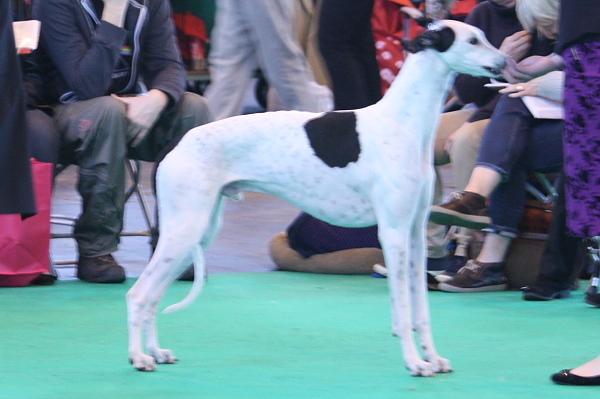 Crufts15_03_SWinston1